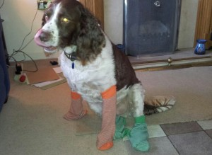 A spaniel wearing socks.