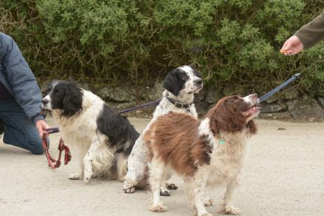 Spaniel friends at the tweet up