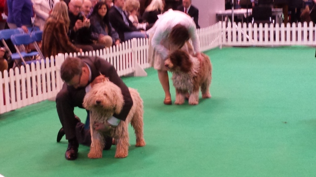 Spanish water spaniels being shown.