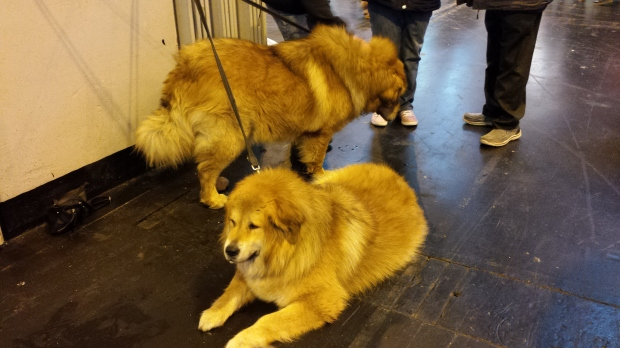 These magnificent gentle giants are Tibetan mastiffs. They're like a cross between a bear and a lion.