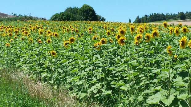 A field of of sunflowers in France - one of the prettiest sights I've ever seen.